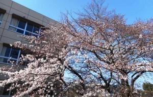 桜190327_02