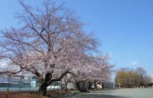 桜190331_02