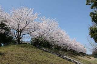 本校テニスコート横の桜並木 花見の季節には生徒たちが良くお弁当を食べます