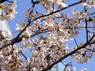急に暖かくなり、桜の開花も早まりそうです!