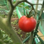 トマトが気持ちよさそうに実ってます。