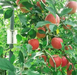 【中等部1年】リンゴの木がなりました♪